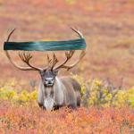 Caribou Make Great Swifts! #CaribouKnits