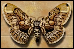 Brahmin Moth