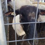 Happy Sheared Sheep at KY Sheep & Fiber Show